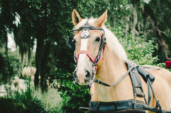 Palomino Horse Pulling Carriage. A close up of a palomino horse pulling a carriage Stock Photo
