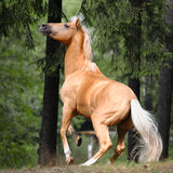 Palomino horse is rearing up in the forest. Palomino horse rears up in a pine forest Royalty Free Stock Images