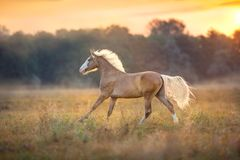 Cream horse with long mane run gallop. Palomino horse run fast at sunrise meadow royalty free stock image