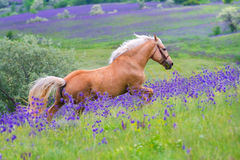 Palomino horse run gallop Royalty Free Stock Photography