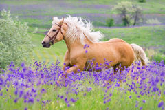 Palomino horse run gallop. Palomino horse with long blond male on flower field Stock Photography