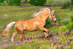 Palomino horse run gallop. Palomino horse with long blond male on flower field Stock Photo