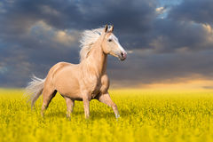 Palomino horse run. Palomino horse with long blond male on colza field Royalty Free Stock Photography