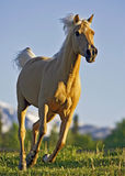 Palomino Horse running. Palomino Arabian Mare cantering in meadow Royalty Free Stock Images