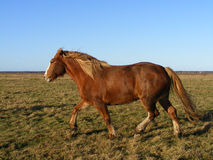 Palomino horse running at the field. Big chestnut draught horse trotting at the field Stock Image