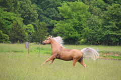 Palomino Horse Running. In a lush green field Stock Photos