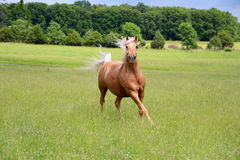Palomino Horse Running. In a lush green field Royalty Free Stock Photography