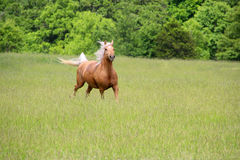 Palomino Horse Running. In a lush green field Royalty Free Stock Photos