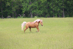 Palomino Horse Running. In a lush green field Royalty Free Stock Image