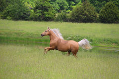 Palomino Horse Running. In a lush green field Royalty Free Stock Photo