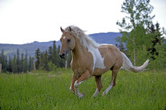 Palomino Horse running Royalty Free Stock Photos