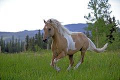 Palomino Horse running. Paint Palomino Stallion cantering on meadow Royalty Free Stock Photos