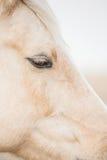 Palomino horse's eye. Vertical closeup image of a Palomino horses face Royalty Free Stock Image