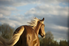 Palomino horse in sunset. The palomino horse in sunset Royalty Free Stock Image