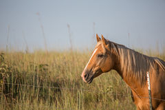Palomino horse at sunset. Horizontal outdoor portrait of a Palomino horse looking westward at sunset Royalty Free Stock Photo