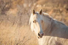 Palomino Horse at Sunset Royalty Free Stock Images
