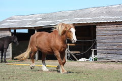 Palomino horse trotting at the field Stock Images