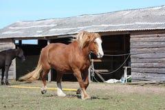Palomino horse trotting at the field. Palomino draught horse trotting at the field near the stable Stock Images