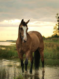 Palomino horse in water