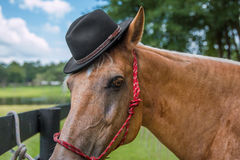 Palomino horse wearing black hat. Palomino beige horse equine wearing black hat in costume  and red haltar outside in a field by a fence looking dashing handsome Stock Images