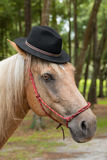 Palomino horse wearing black hat. Palomino horse equine with white main and tan beige hair in black hat and red halter looking funny comical dashing handsome Royalty Free Stock Photo