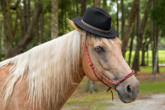 Palomino horse wearing black hat. Palomino horse equine with white main and tan beige hair in black hat and red halter looking funny comical dashing handsome Royalty Free Stock Image