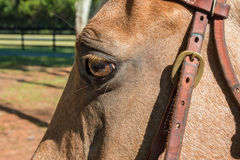 Palomino horse wearing bridle. Palomino beige horse equine gold yellow eye wearing leather bridle outside Royalty Free Stock Images