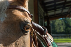 Palomino horse wearing saddle and bridle. Palomino beige horse equine with gold yellow eye wearing saddle and bridle outside barn ready to ride Royalty Free Stock Photo