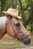 Palomino horse wearing straw hat. Palomino beige with white mane horse equine wearing straw hat in costume and red haltar Royalty Free Stock Photo