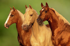 Palomino Horses. Portraits of three Palomino Horses with golden coats in the sunset Royalty Free Stock Photo