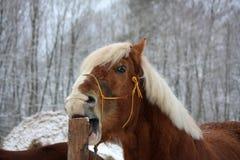 Palomino koń cribbing drewnianego ogrodzenie Zdjęcie Stock