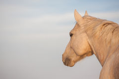 Palomino looks afar off. Handsome Palomino horse looking away against a sky background Stock Photos