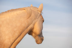 Palomino looks afar off. Handsome Palomino horse looking away against a sky background Stock Images