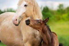Palomino mare with baby Royalty Free Stock Photo