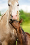 Palomino mare with baby Royalty Free Stock Images