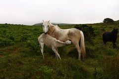Palomino Mare & foal Royalty Free Stock Images