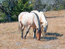 Palomino mare and Red Roan Stallion grazing together on Tillett Ridge in the Pryor Mountain Wild Horse Range in Montana Royalty Free Stock Image