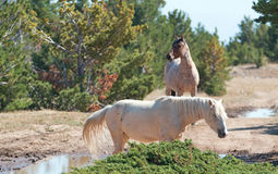 Palomino mare and Red Roan Stallion on Tillett Ridge in the Pryor Mountain Wild Horse Range in Montana. USA Royalty Free Stock Photos