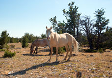 Palomino mare and Red Roan Stallion on Tillett Ridge in the Pryor Mountain Wild Horse Range in Montana. USA Stock Images