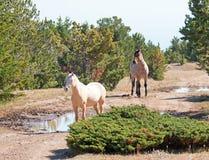 Palomino mare and Red Roan Stallion on Tillett Ridge in the Pryor Mountain Wild Horse Range in Montana Stock Photography