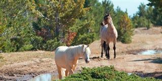 Palomino mare and Red Roan Stallion on Tillett Ridge in the Pryor Mountain Wild Horse Range in Montana Royalty Free Stock Photos