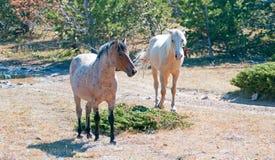 Palomino mare and Red Roan Stallion on Tillett Ridge in the Pryor Mountain Wild Horse Range in Montana Stock Photo
