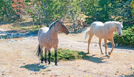 Palomino mare and Red Roan Stallion on Tillett Ridge in the Pryor Mountain Wild Horse Range in Montana Royalty Free Stock Images