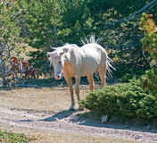 Palomino mare with windblown mane and tail on Tillett Ridge in the Pryor Mountain Wild Horse range in Montana. USA Stock Image