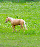 Palomino in meadow Stock Images