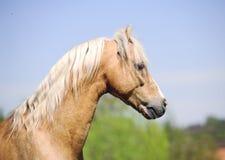 Palomino miniature horse Stock Photo