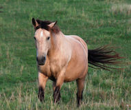 Palomino on the Move. A palomino horse in trotting across the field Stock Images