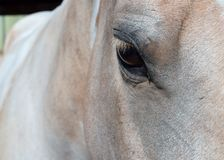 Palomino Paint Horse. A close up of a beautiful Palomino Paint horse Stock Image