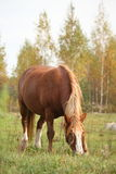 Palomino percheron at the pasture Stock Photos