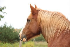 Palomino percheron portrait in autumn Royalty Free Stock Image